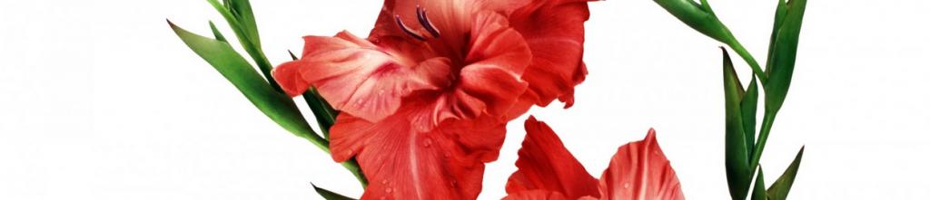 2015-05-05 16_48_19-292196-gladiolus.jpg (1920×1080)