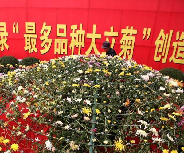 Chinese_chrysanthemum_enters_Guinness_World_Records