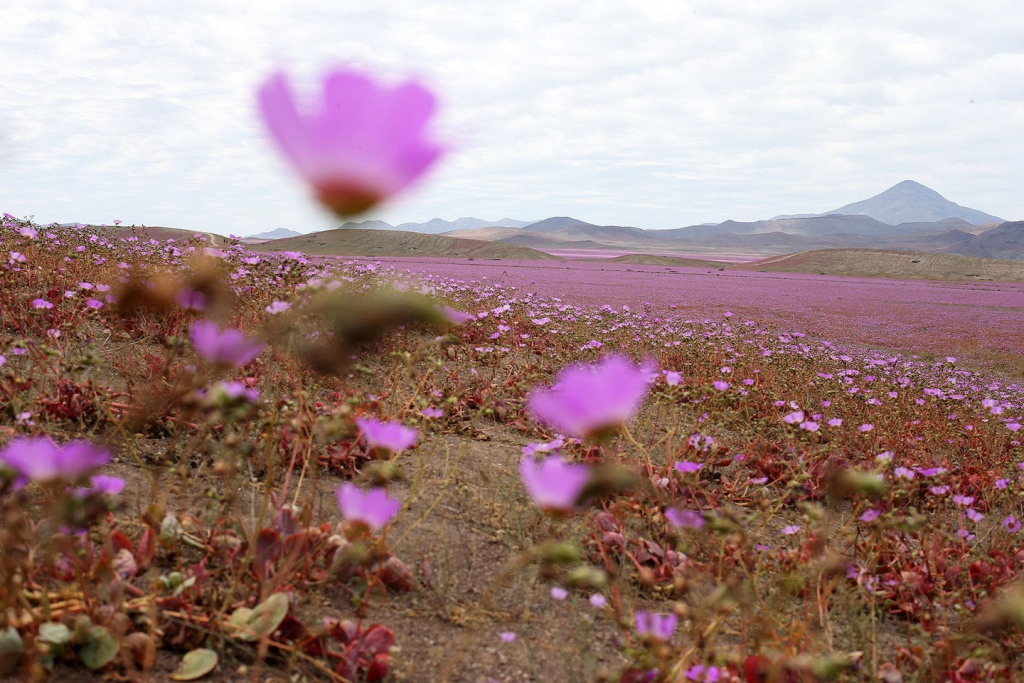 epa04995636 A picture made available on 25 October 2015 of a general view over a mallow field in the Atacama region, 750 kilometers north of Santiago de Chile, Chile, 21 October 2015. Every five to seven years, the arid Atacama desert becomes a mallow colored flower carpet, as the amount of rain that came down over the hostile northern land during the last months led to the most spectacular blossoming of the past 18 years.  EPA/MARIO RUIZ